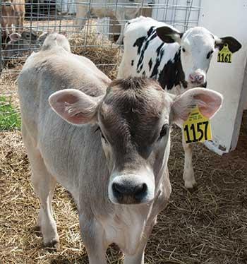 Brown Swiss and Holstein calves