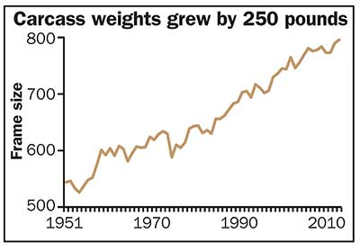 Beef carcass weights grew by 250 pounds