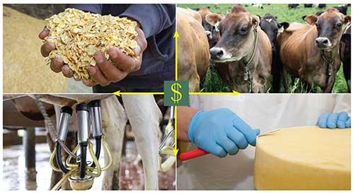 corn, Jerseys, milking unit, cheese