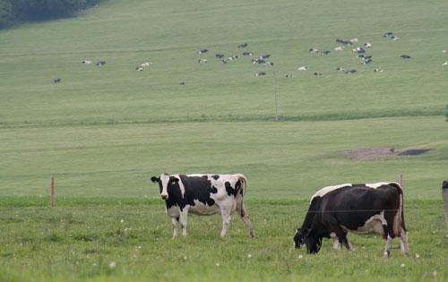 Holsteins on pasture