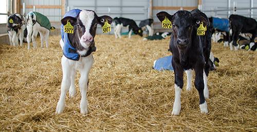 Holstein calves in group housing