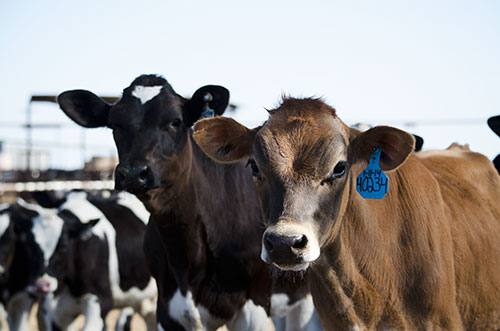Holstein and Jersey heifers