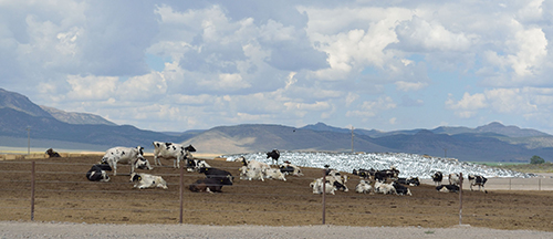 Western dairy scene