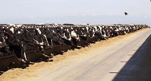 large herd