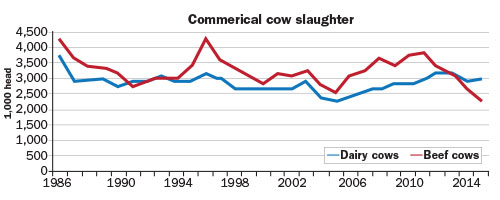 dairy cow slaughter trends