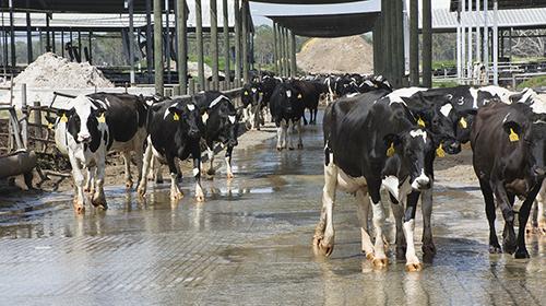 cows walking toward milking parlor