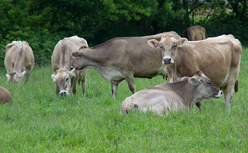 Brown Swiss on pasture