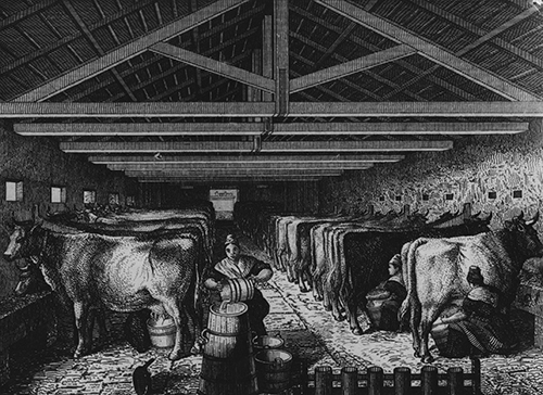 women milking cows