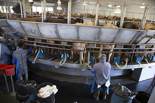 Jerseys milked in a parlor