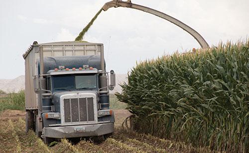 chopping corn silage