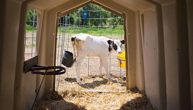 1807_406-calf-hutch