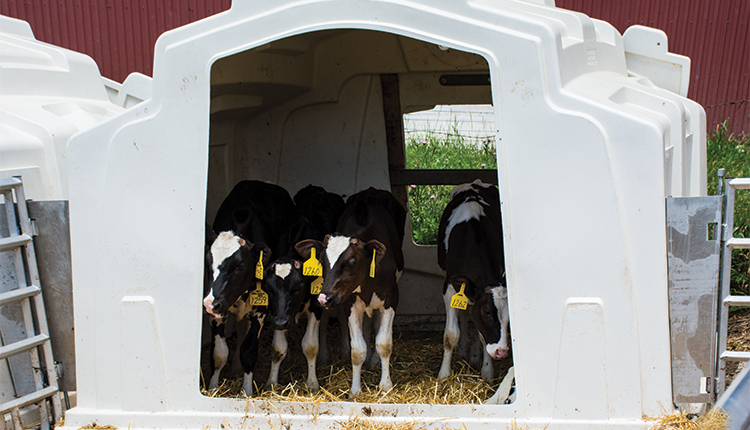 180910_518-calves