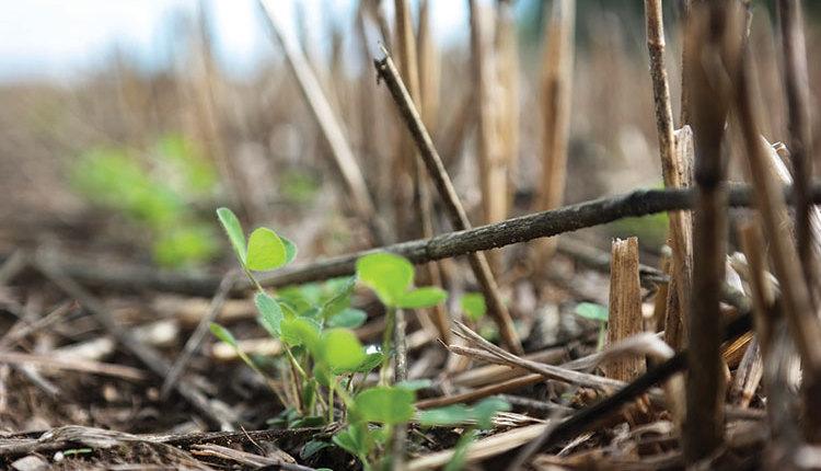 1902_115-alfalfa-seedling