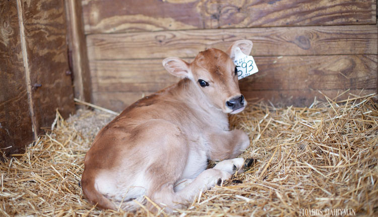 Bauer-calf