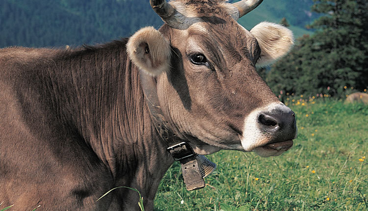 Swiss voters reject bid to save cow horns