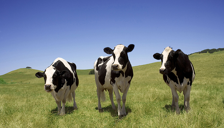 Calif cows_ph