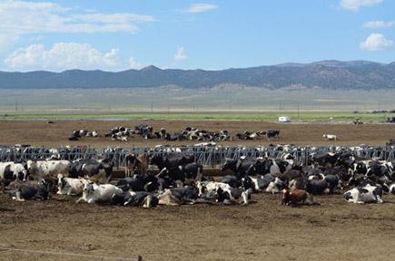 cattle in yard