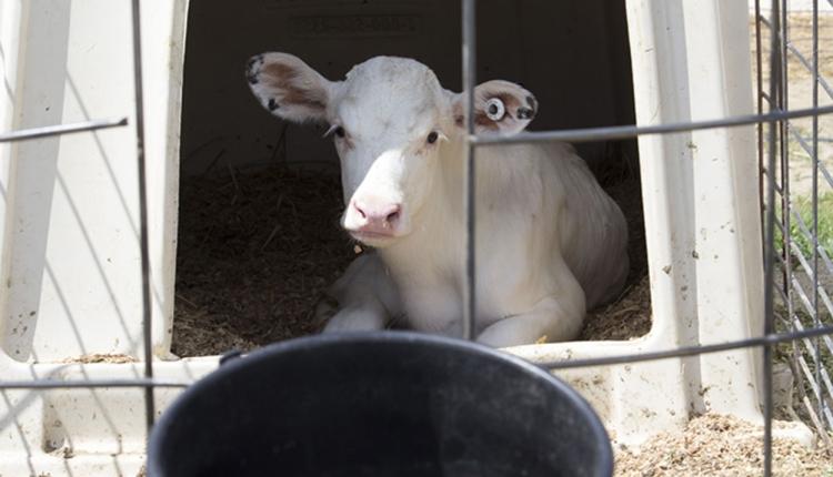 HDN-calf-hutch