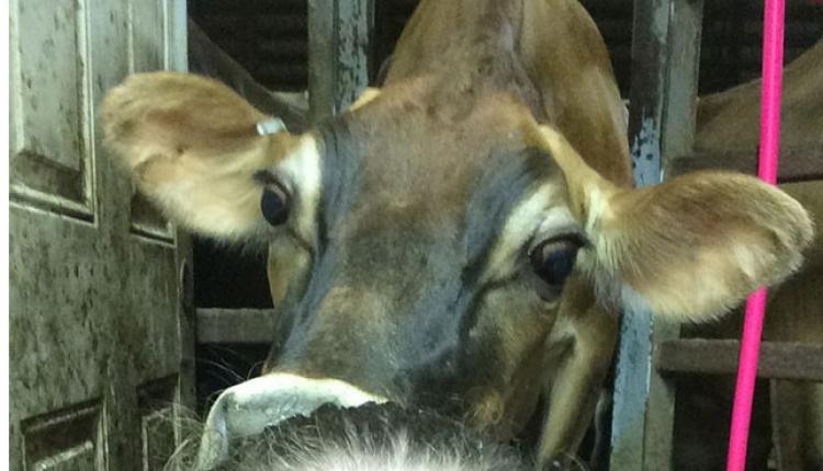 JS-Jersey-cow