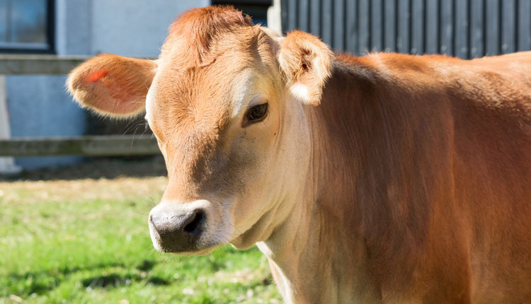 Jersey-cow