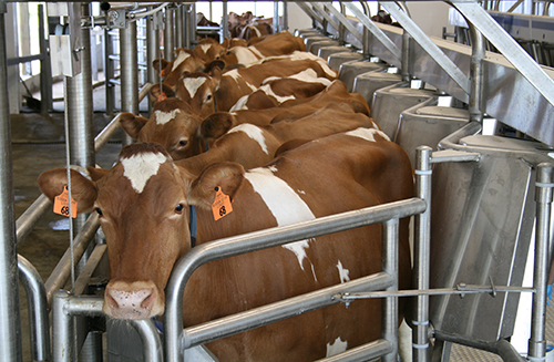 heifers in milking parlor