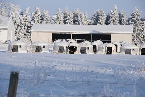 winter dairy scene