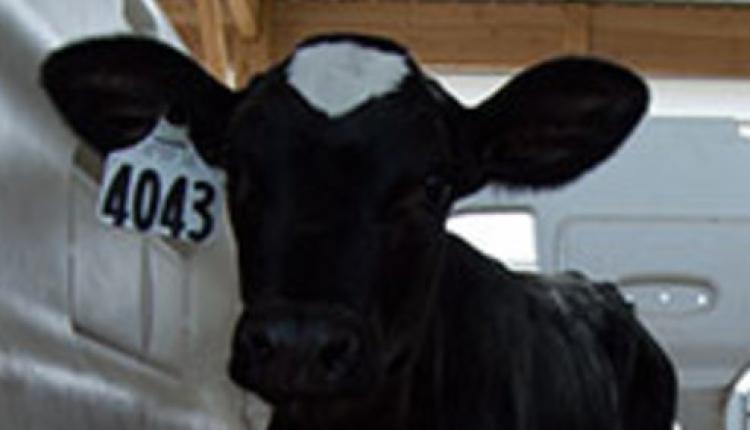 clean-calf.jpg