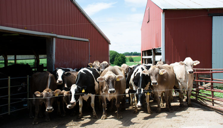 dairy-cows