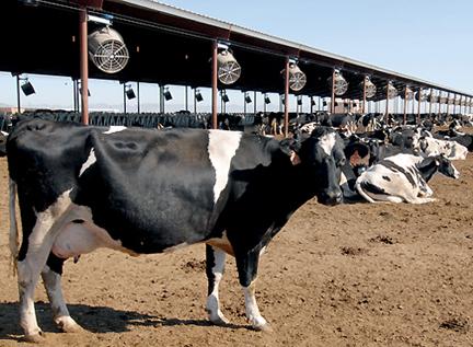 cow fans