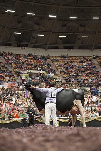 Bonaccueil Maya Goldwyn, Grand Champion, International Holstein Show 2013