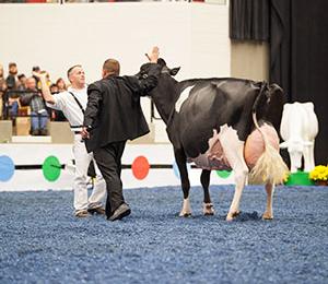 Holstein Grand Champion