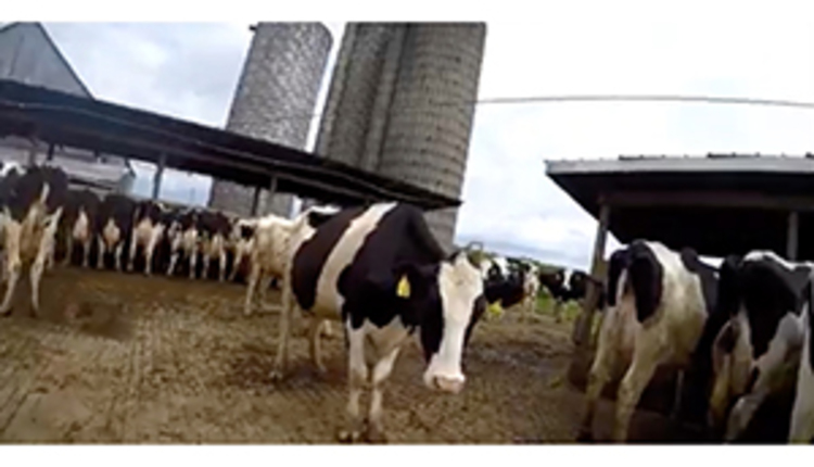 why-put-gopro-on-a-cow