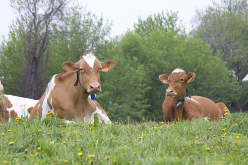cows with neck tags